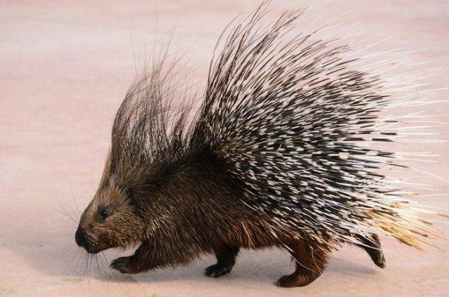 Почему Дикобраз считается раздражительным животным?