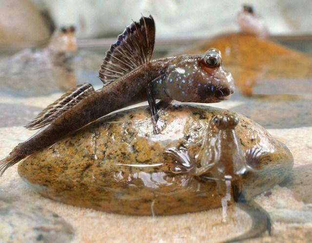 Какие рыбы могут жить без воды?