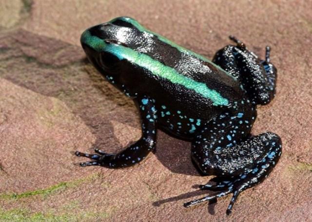 Самые ядовитые виды лягушек в мире