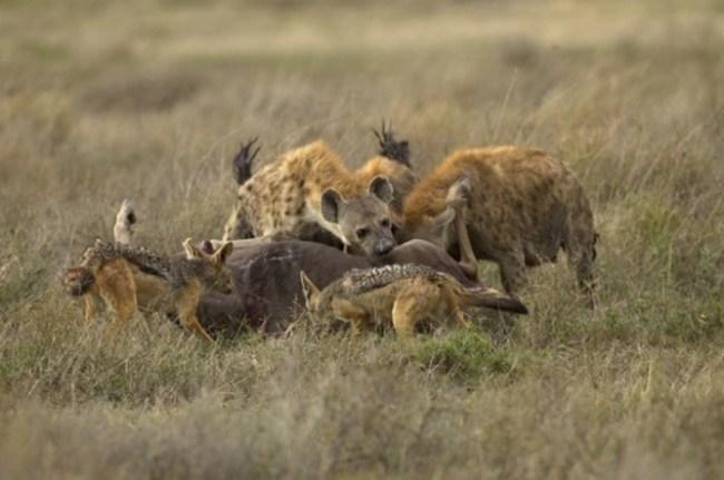 Главные заблуждения о гиенах