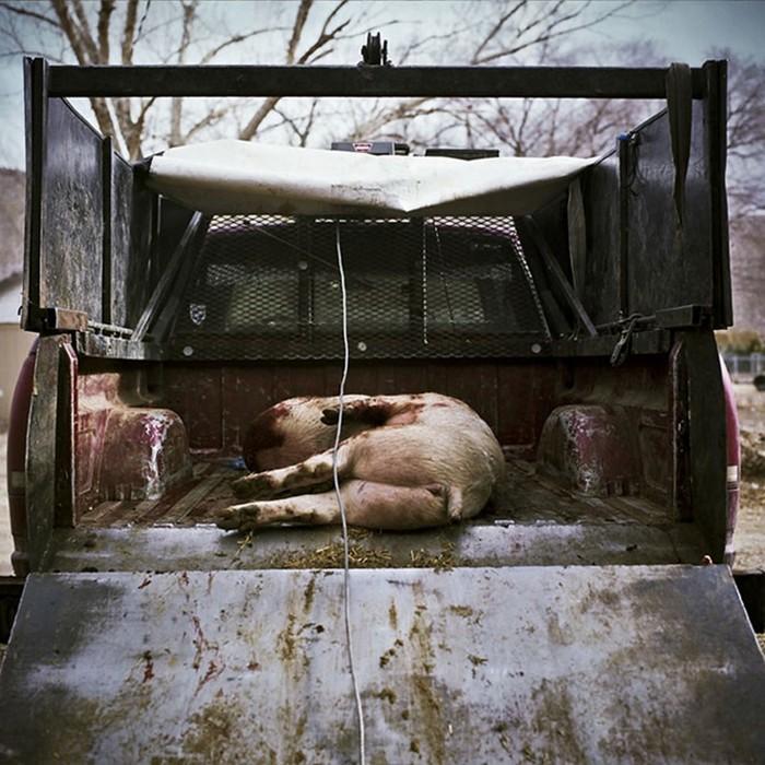 Скотобойня как она есть