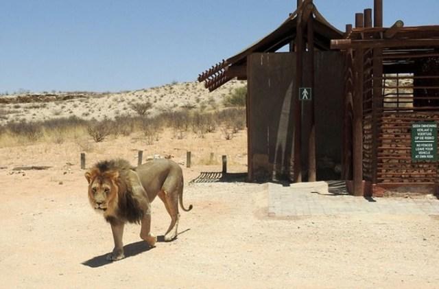 В Африке король зверей не пустил туристов в туалет