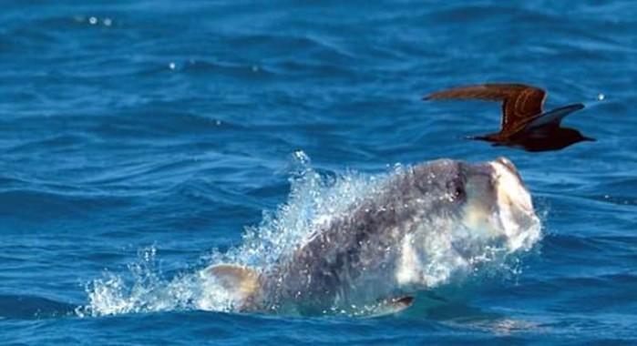 Гигантский тревалли— рыба, которая охотится на птиц (видео)