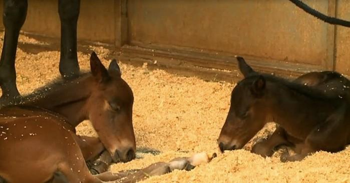 Сеть восхитили маленькие новорожденные лошадки феномены