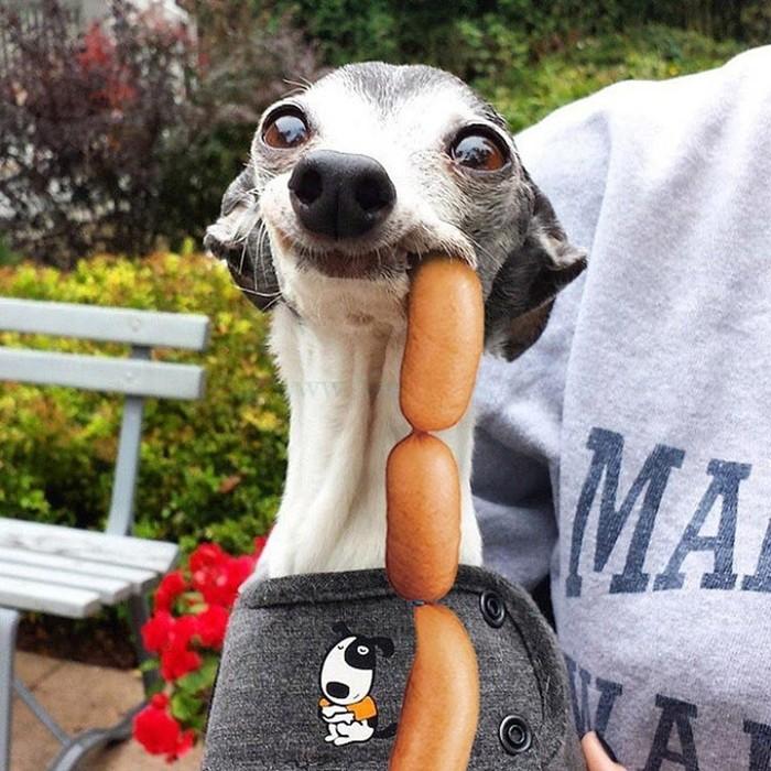 Самый смешной пес в фотожабах