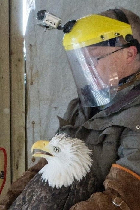 Влюбленный орлан неделю ждал невесту около больницы