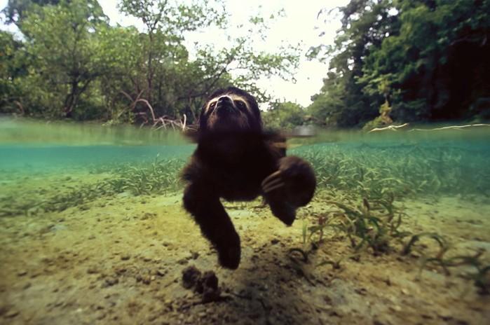 Необычные фотографии сухопутных животных, застигнутых за плаванием