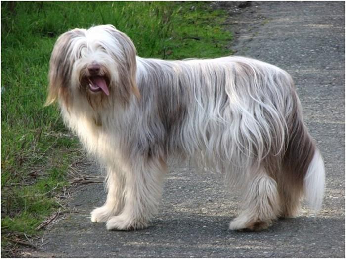 5 самых дорогих пород собак в мире