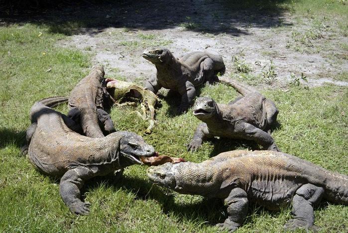 Рождение семи драконов в Индонезии: маленькие комодорские варанчики