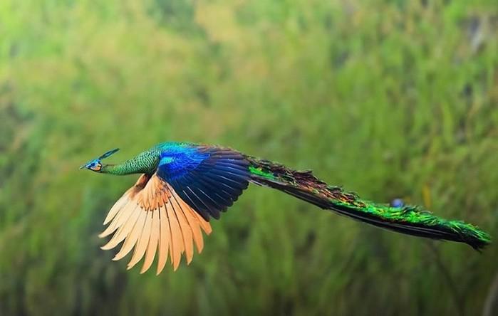 Павлин мавлин: интересные факты о восхитительной птице