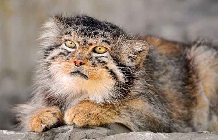 Экспрессивные дикие кошки прошлого— манулы, фотографии