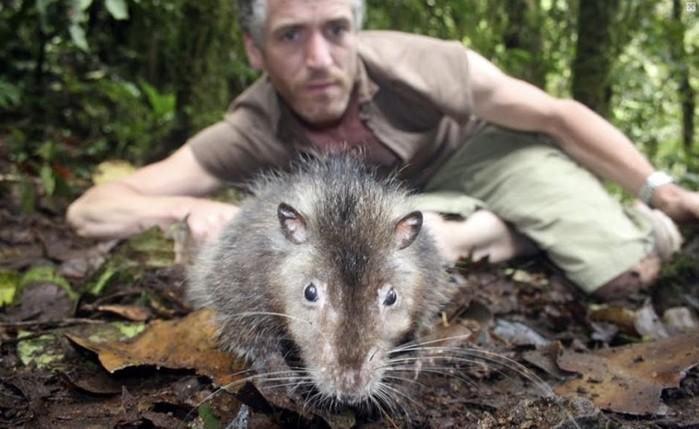 Жуткие гиганты: самая большая крыса в мире