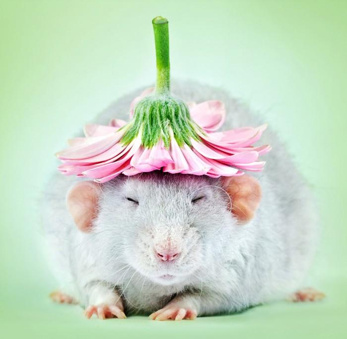 Очаровательные крысиные портреты: фотограф Диана Оздамар