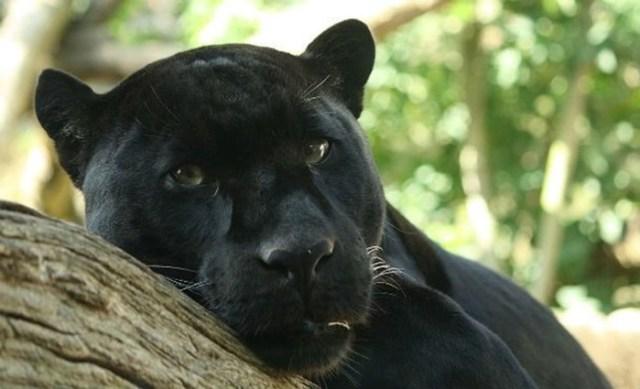 Несколько «замурчательных» фактов о черных кошках