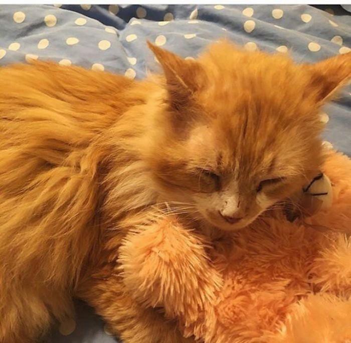 Кот прошел 20 км, чтобы вернуться к своим хозяевам, а они решили его усыпить