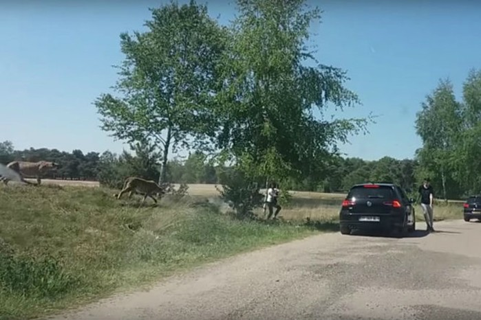 Гепарды чуть не съели семью французских туристов, приехавших на сафари