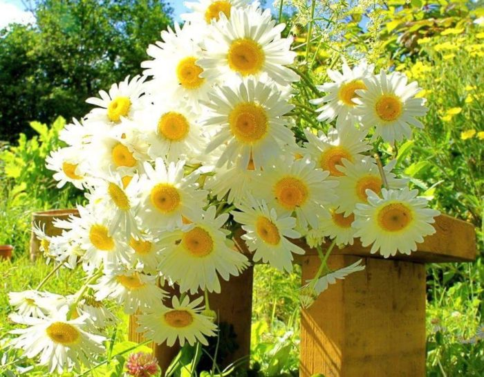 Белые нежные букеты из ромашек: красивые фотографии цветов