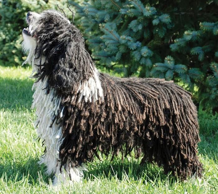 Породы собак с дредами: фото и названия самых лохматых пород