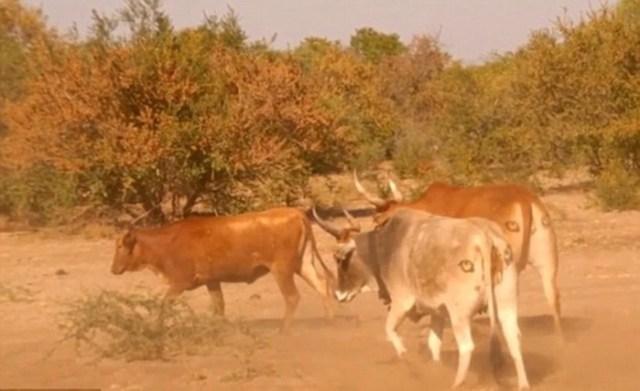 Зачем африканским коровам рисуют глаза на заднице
