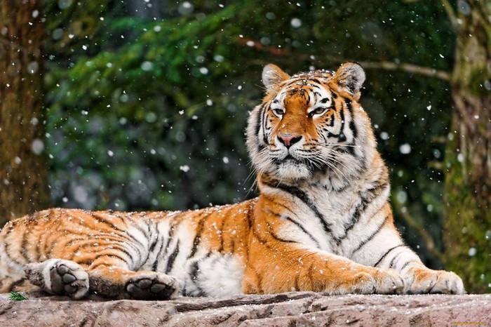 Как в Приморье спасали маленьких тигрят
