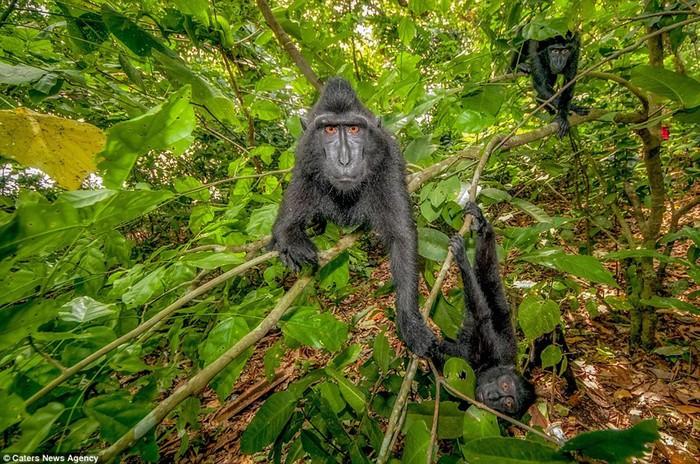 Позитивные обезьяны с острова Сулавеси