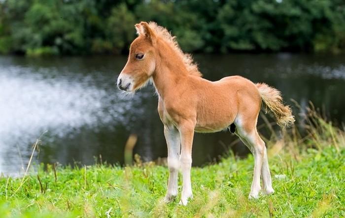 Маленькие лошади   породы лошадей, отличающиеся низким ростом