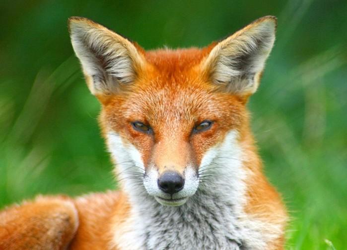 Почему человек не сумел приручить лисицу?
