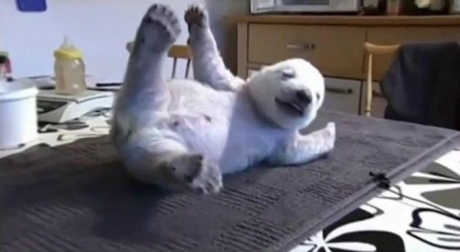 Смешной Сику   белый медвежонок