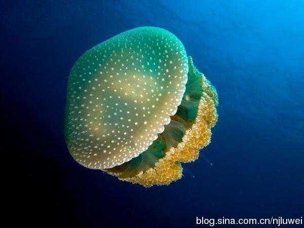 荷包蛋水母 最美的14種水母 - YY個性網
