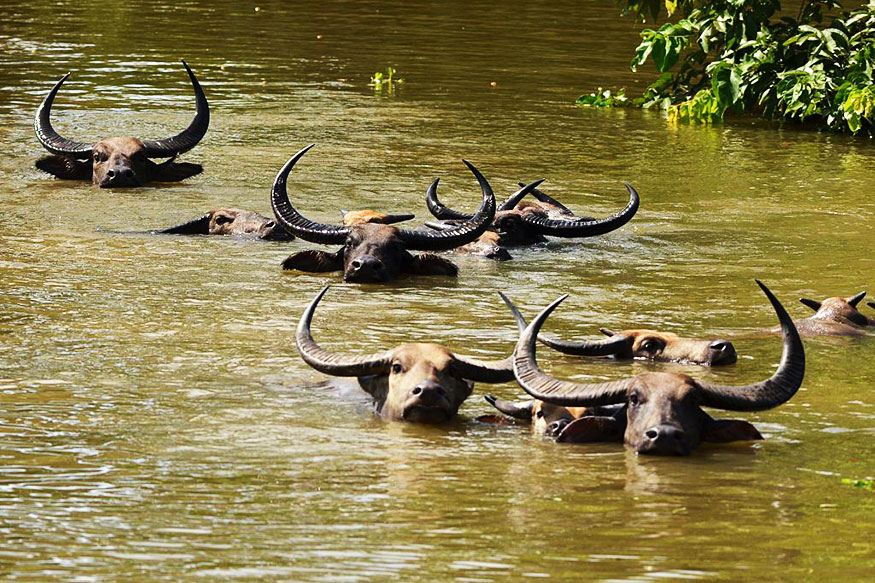 Buffaloes in flooded Kaziranga