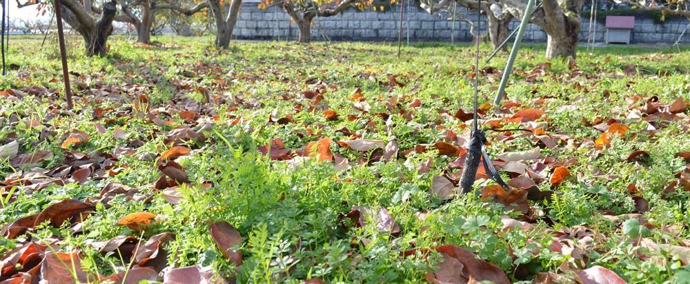 12/1の柿畑-001
