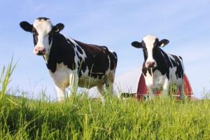 American dairy cows may be providing you with less-healthy milk.