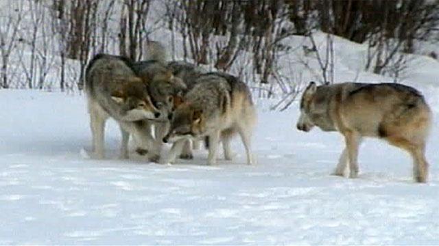В Якутии из-за нашествия волков объявляют режим чрезвычайной ситуации
