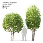 3d Sweetbay Magnolia Tree Cgtrader