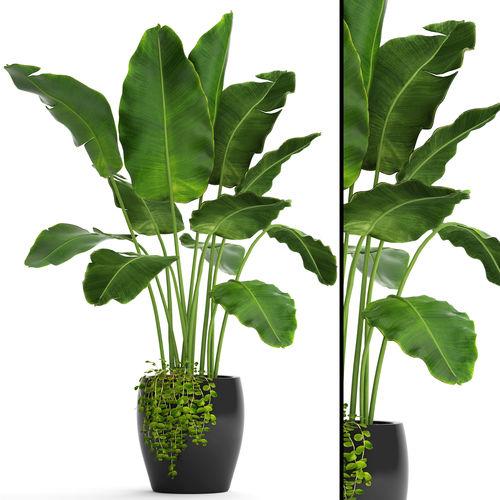 plant 3D Banana Tree  CGTrader