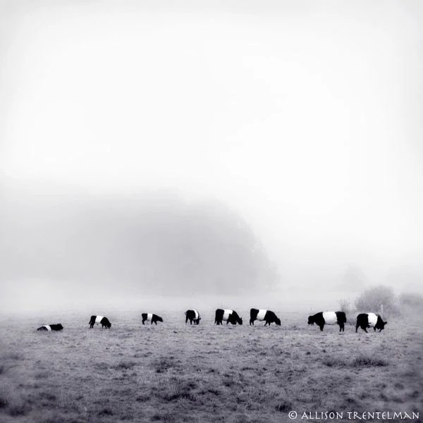 Belted Galloway Cows In Fog Fine Art Black And White