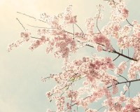 Cherry Blossom Art Cherry Blossom Photo nature by SeeLifeShine