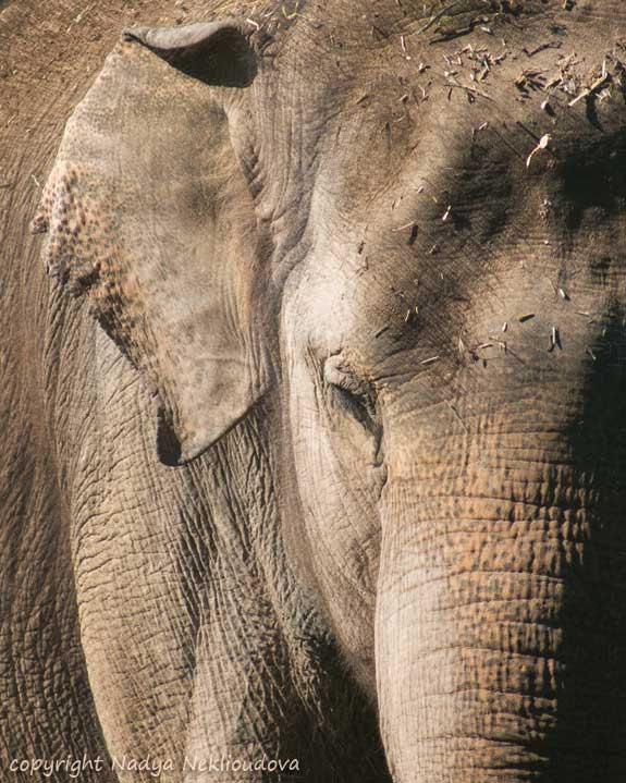 Asian Elephant Portrait - signed photo print, size 8x10 inches (20x25cm) - oceloteyes