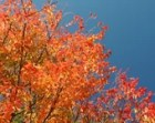 Blazing Foliage, Photograph Autumn Fall Orange Red Blue Sky Colorful Nature Leaves Crepe Myrtle