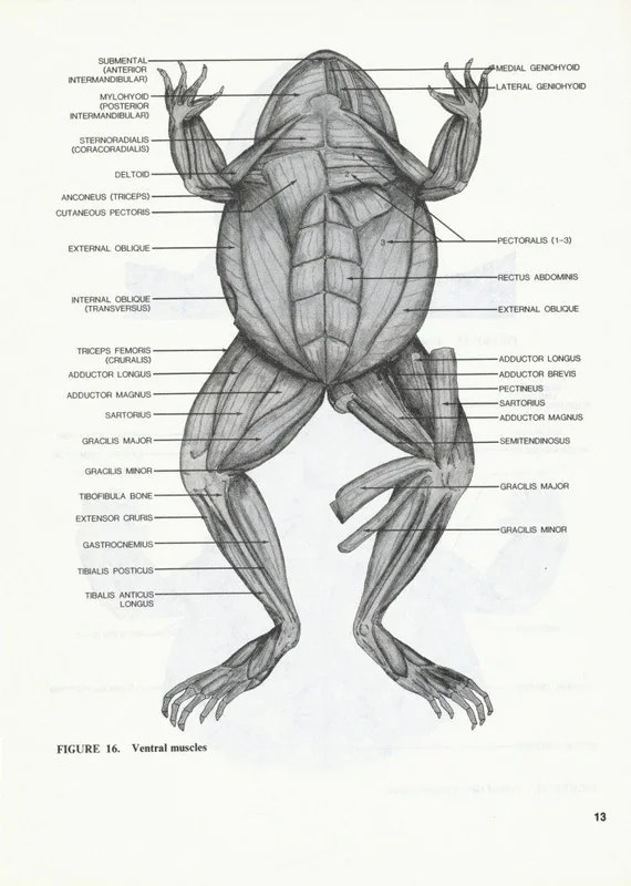 Lot of 7 Vintage Frog Animal Anatomy Illustrated Book Pages