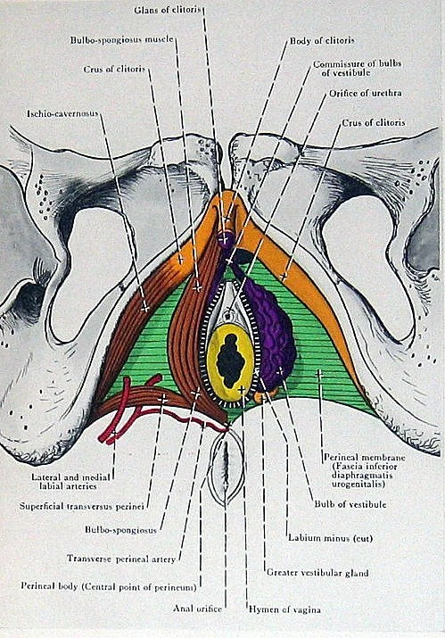 eye anatomy vintage diagram chevy s10 headlight wiring 1947 book plate perineal muscles in the female p189