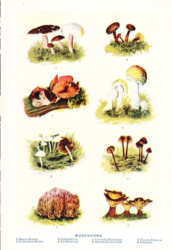 1909 Mushroom Print Vintage Antique Art Illustration Book