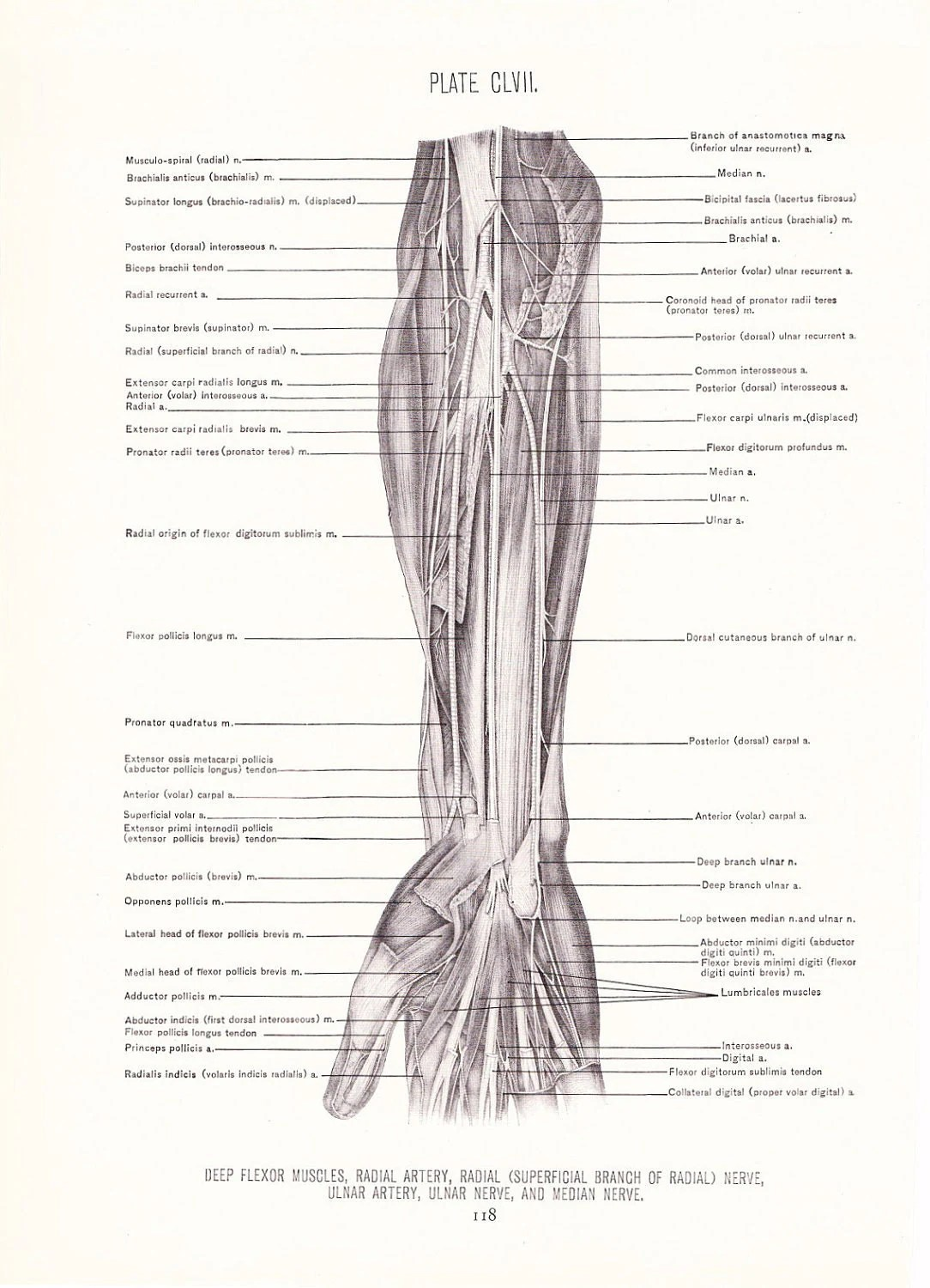 1926 Human Anatomy Print Muscles and Nerves of Arm Vintage