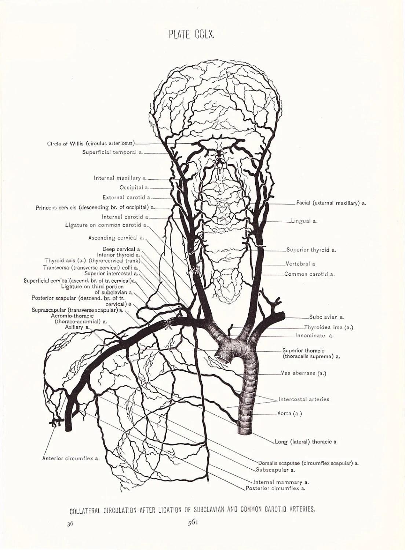 carotid artery diagram 1998 buick lesabre belt illustration
