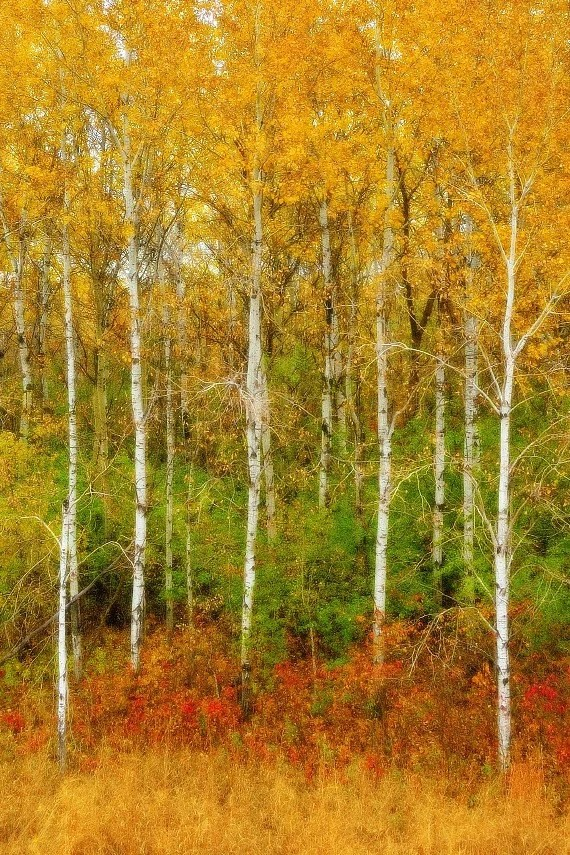 Birch Tree Fall Wallpaper Fall Color Nature Photography Autumns Palette Red