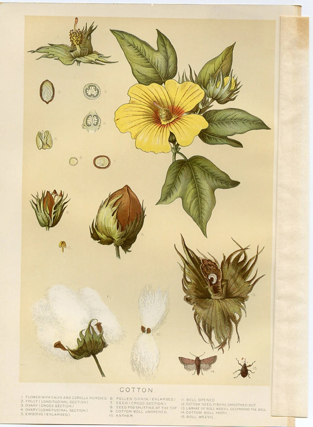 1907 Antique Botanical Print Cotton Lithograph by find4you