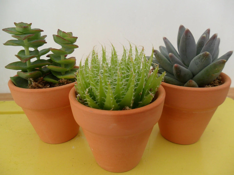 Succulents Terracotta Pots