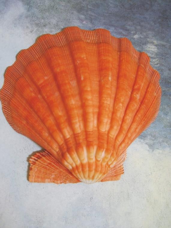 Large Sea Shell 437 Orange Lions Paw Scallop Shell