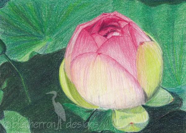 Flower Drawing Lotus Bud Colored Pencil Art Print