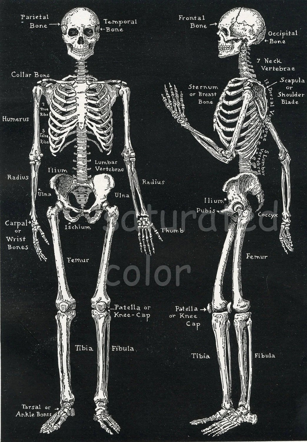 Human Skeleton Anatomy Vintage S High Res By Saturatedcolor